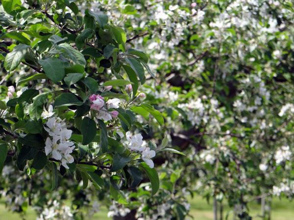 田んぼに映える逆さ津軽富士と、満開のリンゴの花など♪_a0136293_17320120.jpg