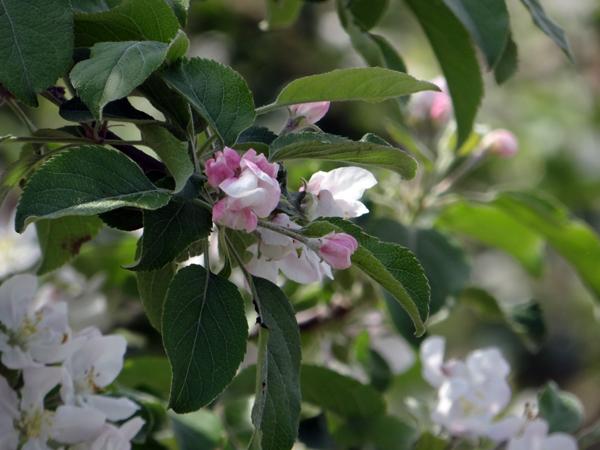 田んぼに映える逆さ津軽富士と、満開のリンゴの花など♪_a0136293_17325304.jpg