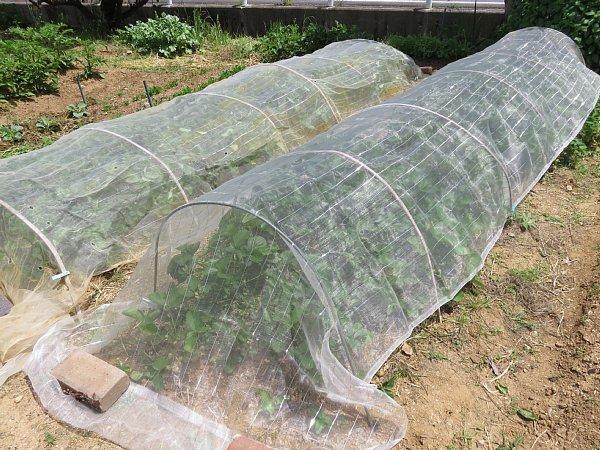2018年5月23日 イチゴの収穫  (^o^)V_b0341140_2002179.jpg