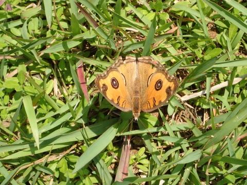 与論島の蝶たち_d0285540_05402473.jpg