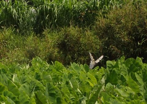 与論島の蝶たち_d0285540_05414788.jpg