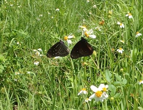 与論島の蝶たち_d0285540_05421558.jpg