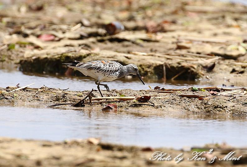 浜で出会った鳥さん達 -奄美大島編ー_e0218518_20443221.jpg