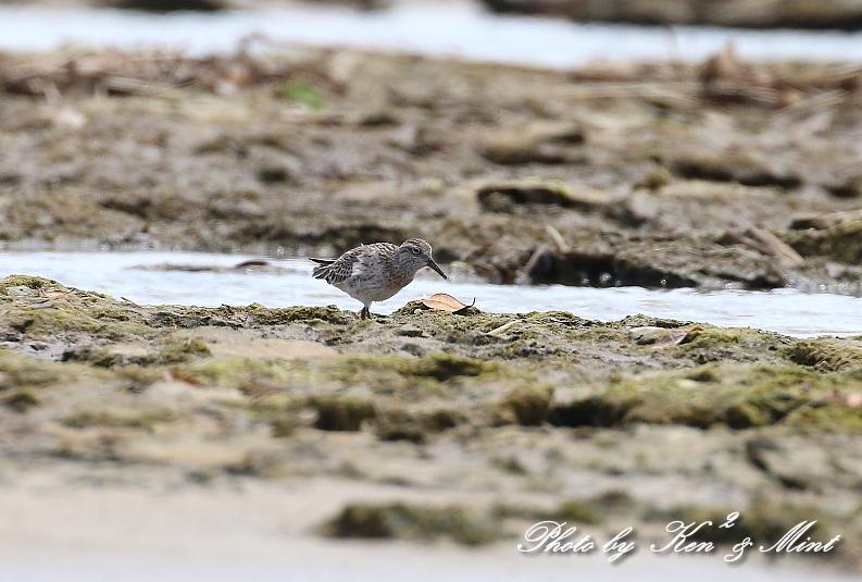 浜で出会った鳥さん達 -奄美大島編ー_e0218518_20445802.jpg
