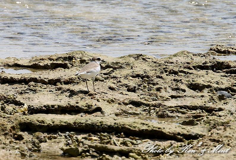 浜で出会った鳥さん達 -奄美大島編ー_e0218518_20451141.jpg