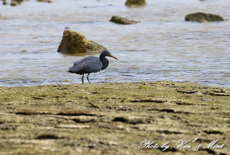 浜で出会った鳥さん達 -奄美大島編ー_e0218518_20452463.jpg