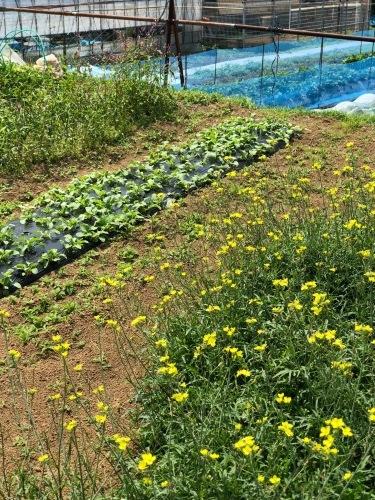 夏日 ズッキーニと蚕豆 スナップエンドウ 一気に収穫時期になっています_c0222448_12021577.jpg