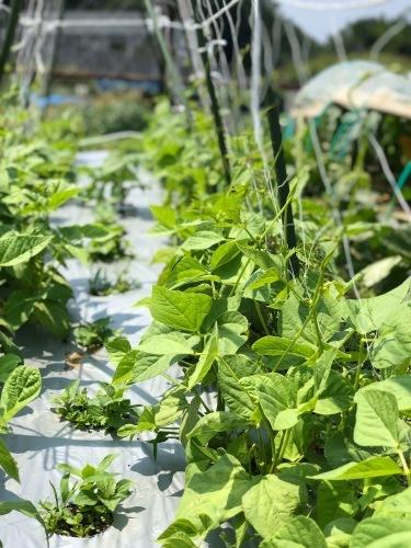 夏日 ズッキーニと蚕豆 スナップエンドウ 一気に収穫時期になっています_c0222448_12022870.jpg