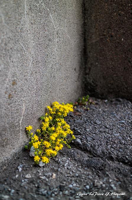 花のある風景 コモチマンネングサの花_b0133053_00430248.jpg
