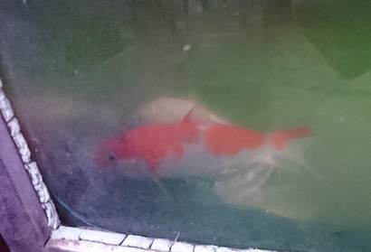 錦鯉の稚魚たち_b0374059_11544967.jpg