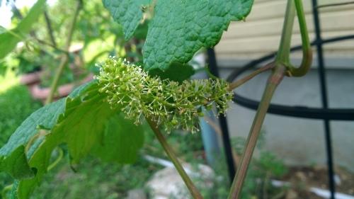葡萄のスチューベンの成長_c0197684_12575112.jpg