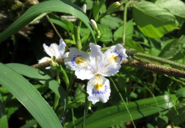 菜園の花 黄菖蒲などを_e0048413_23055385.jpg