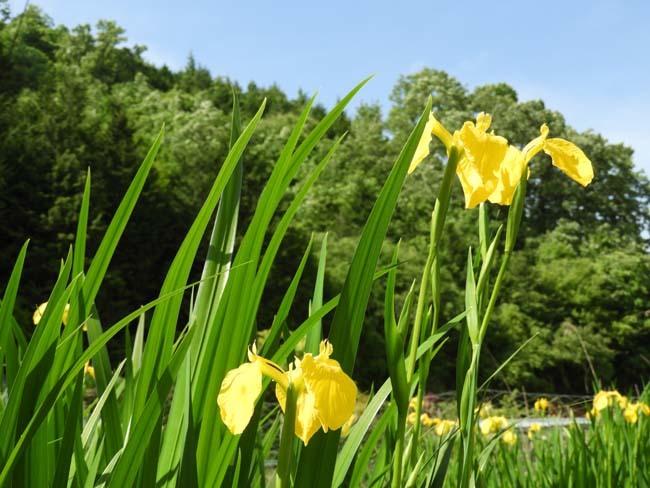 菜園の花 黄菖蒲などを_e0048413_23061178.jpg