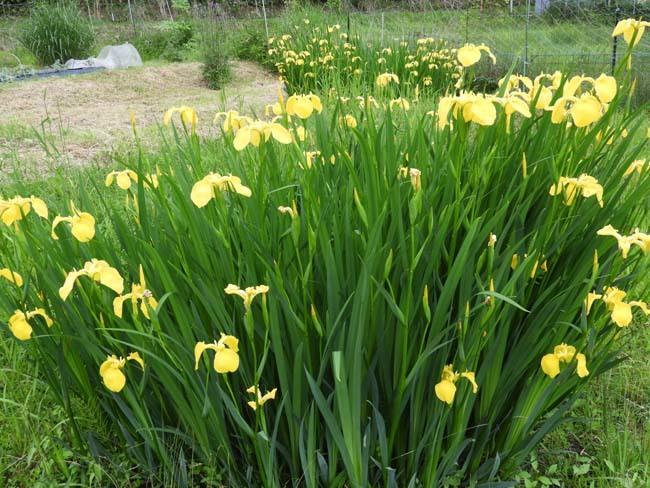 菜園の花 黄菖蒲などを_e0048413_23061562.jpg