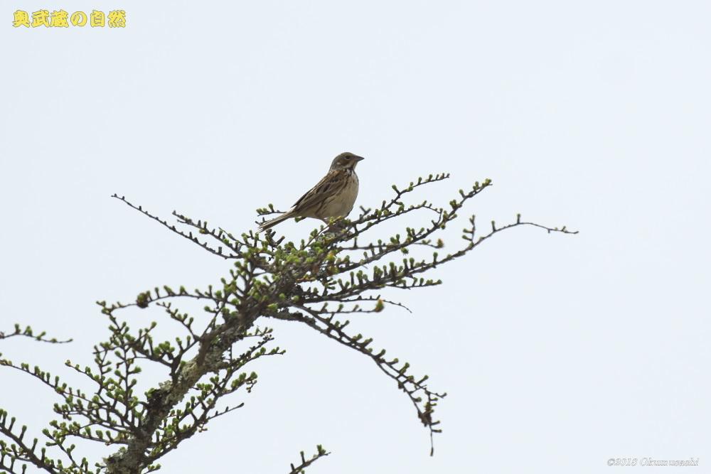 撮った鳥全部シリーズ 第二段_e0268015_21065288.jpg