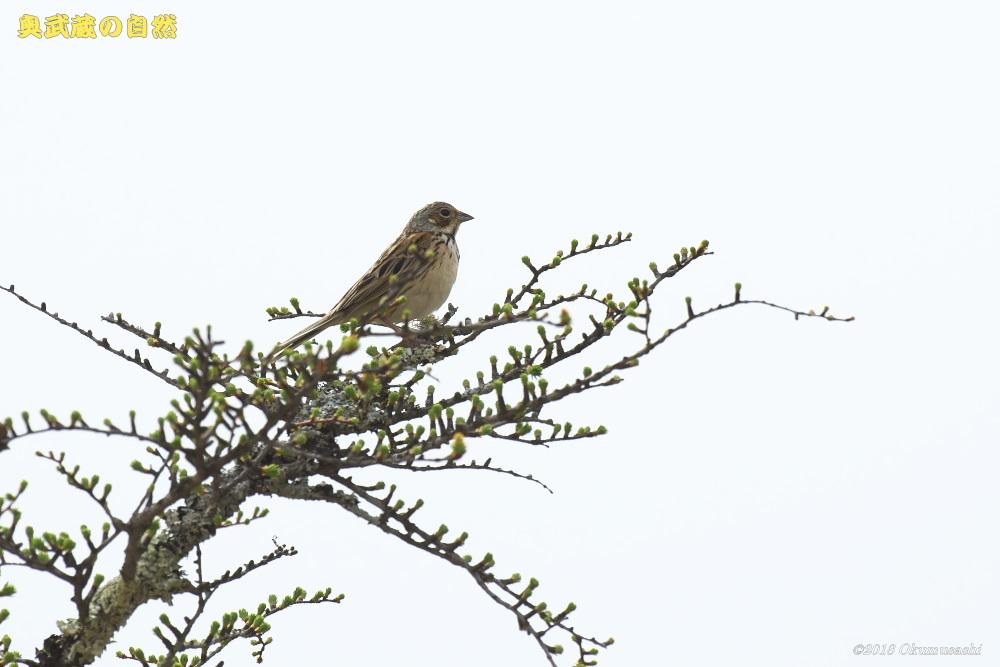 撮った鳥全部シリーズ 第二段_e0268015_21070574.jpg