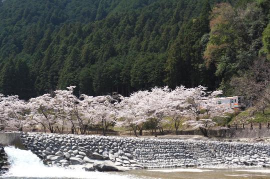 名松線の桜_f0266284_17131470.jpg