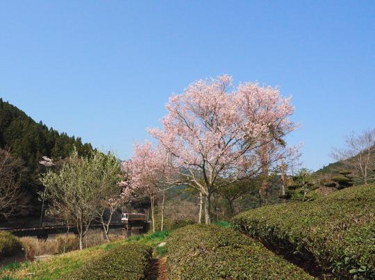 名松線の桜_f0266284_17133381.jpg