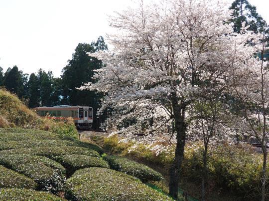 名松線の桜_f0266284_17134362.jpg