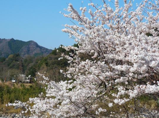 名松線の桜_f0266284_17142474.jpg