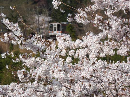 名松線の桜_f0266284_17145959.jpg