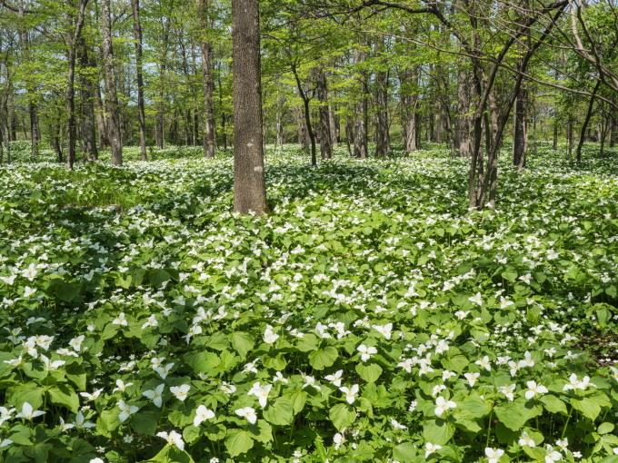 """""""オオバナノエンレイソウ""""白い花咲く「六花の森」_f0276498_19344338.jpg"""