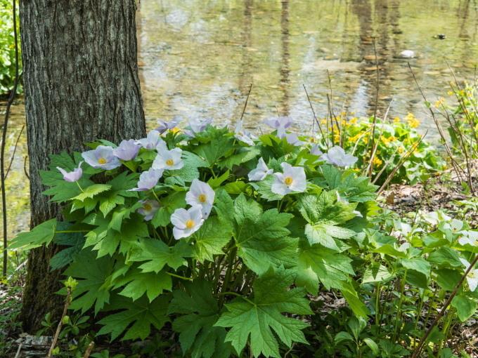 """""""オオバナノエンレイソウ""""白い花咲く「六花の森」_f0276498_20044859.jpg"""
