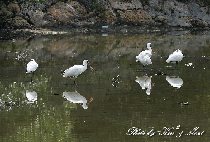 △池であった「クロツラヘラサギ」さん&「ヒバリシギ」さん&「セイタカシギ」さん♪ 他_e0218518_16584263.jpg