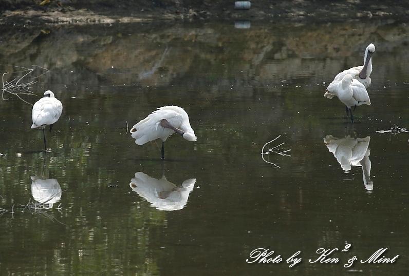 △池であった「クロツラヘラサギ」さん&「ヒバリシギ」さん&「セイタカシギ」さん♪ 他_e0218518_16585201.jpg