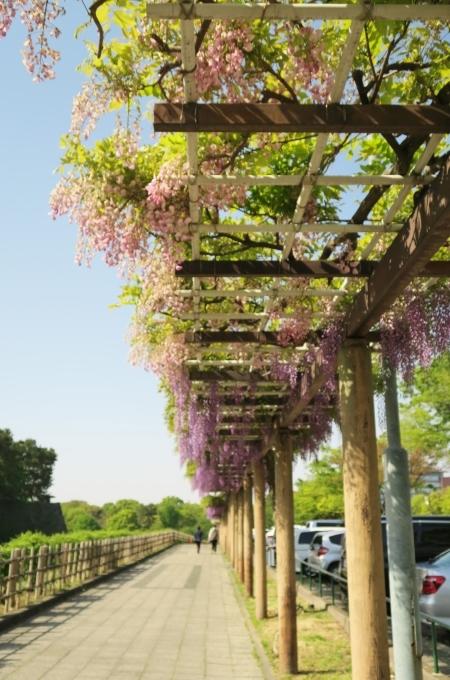 名古屋城と藤の花_e0348754_13310935.jpg