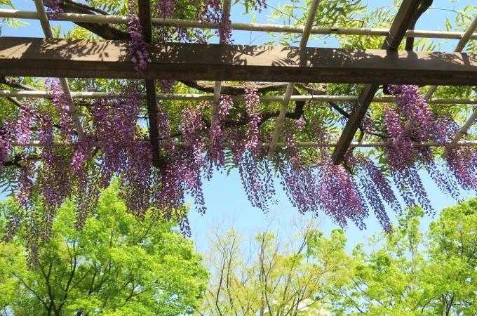名古屋城と藤の花_e0348754_13334915.jpg