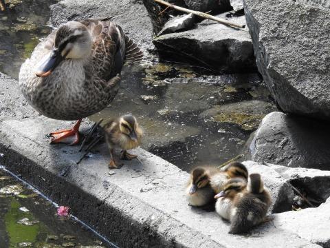 ★アマサギやカルガモ親子がみられました!・・・先週末の鳥類園(2018.5.19~20)_e0046474_20414230.jpg