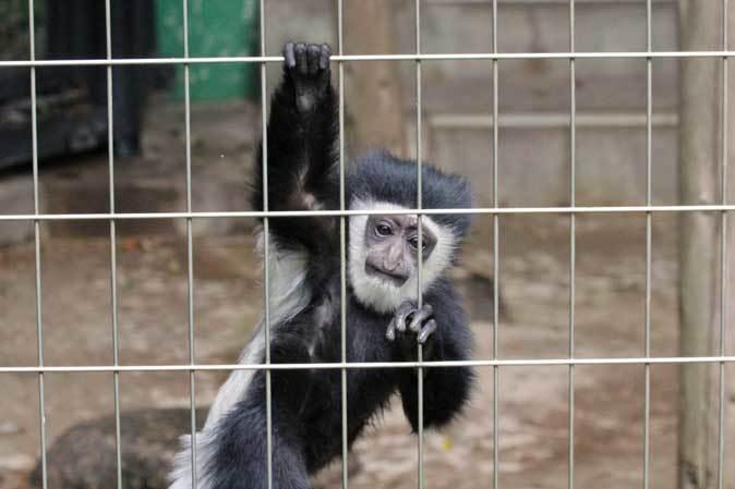 アビシニアコロブスの亜種と国内唯一のカオムラサキラングール(千葉市動物公園)_b0355317_21363583.jpg