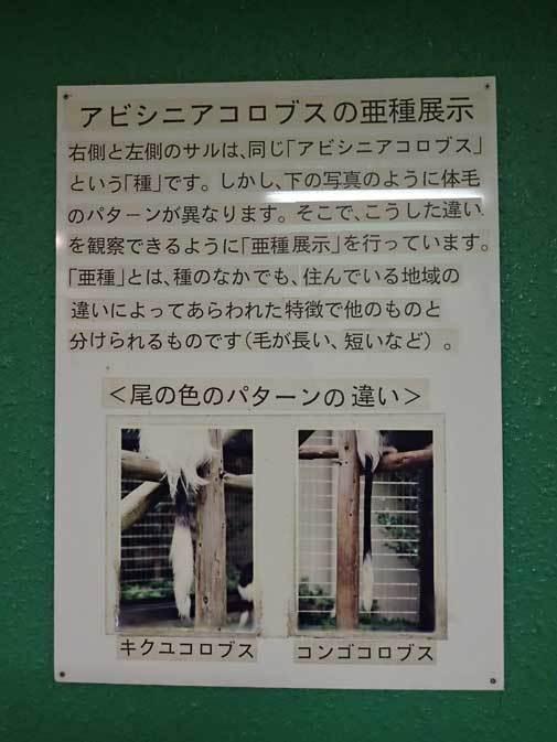 アビシニアコロブスの亜種と国内唯一のカオムラサキラングール(千葉市動物公園)_b0355317_21372283.jpg