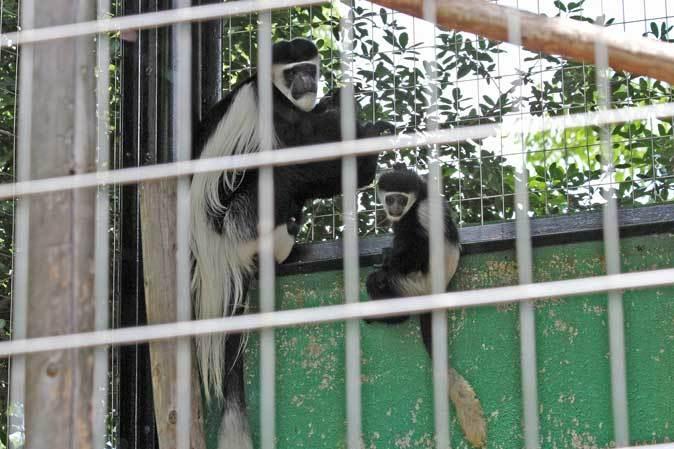 アビシニアコロブスの亜種と国内唯一のカオムラサキラングール(千葉市動物公園)_b0355317_21384196.jpg