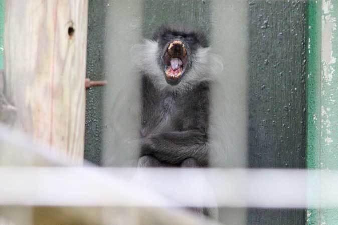 アビシニアコロブスの亜種と国内唯一のカオムラサキラングール(千葉市動物公園)_b0355317_21420391.jpg