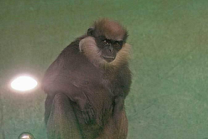 アビシニアコロブスの亜種と国内唯一のカオムラサキラングール(千葉市動物公園)_b0355317_21430641.jpg