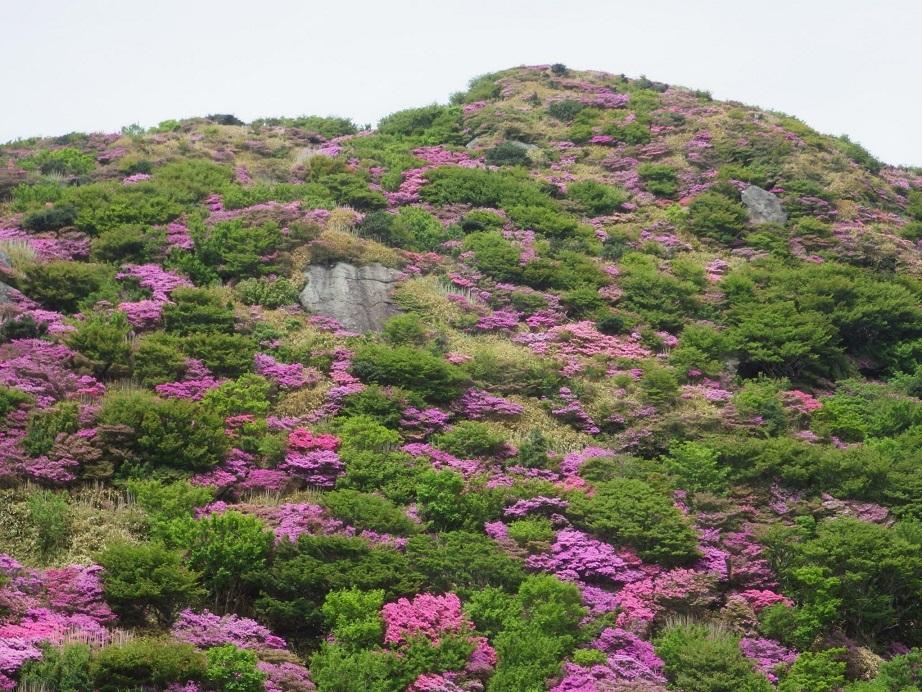 雲仙のミヤマキリシマ_e0164643_19511947.jpg