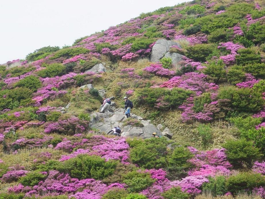 雲仙のミヤマキリシマ_e0164643_19512715.jpg