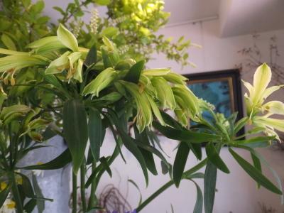 オークリーフ(5月のバラ)_f0049672_16224787.jpg
