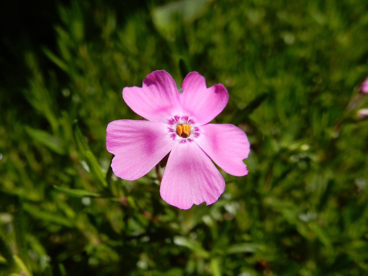 一気に夏日:一輪だけ咲いたシバザクラ_c0025115_22134443.jpg