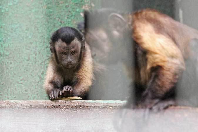 飛び回るフクロテナガザルとフサオマキザルのちびっ子(千葉市動物公園)_b0355317_21133691.jpg