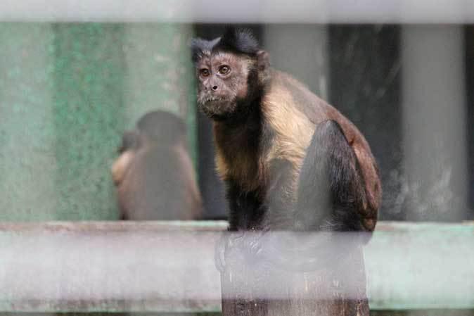 飛び回るフクロテナガザルとフサオマキザルのちびっ子(千葉市動物公園)_b0355317_21155659.jpg