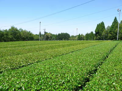 菊池水源茶 平成30年度の茶摘みの様子!まもなく新茶の販売開始です‼_a0254656_16082196.jpg