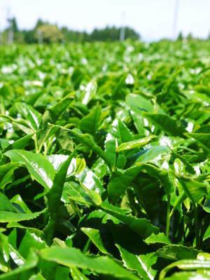 菊池水源茶 平成30年度の茶摘みの様子!まもなく新茶の販売開始です‼_a0254656_16271908.jpg