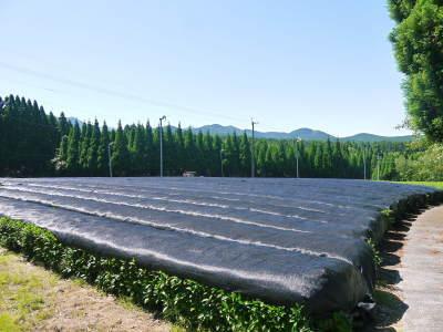 菊池水源茶 平成30年度の茶摘みの様子!まもなく新茶の販売開始です‼_a0254656_16293269.jpg
