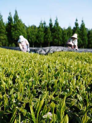 菊池水源茶 平成30年度の茶摘みの様子!まもなく新茶の販売開始です‼_a0254656_16434965.jpg