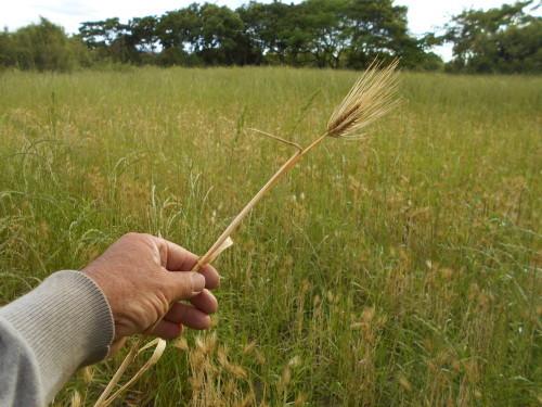 はだか大麦 収穫 _e0181260_20313914.jpg