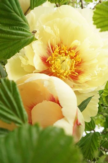 芍薬と牡丹が合わさると、まぁ美しいこと!!_b0151911_09431720.jpg