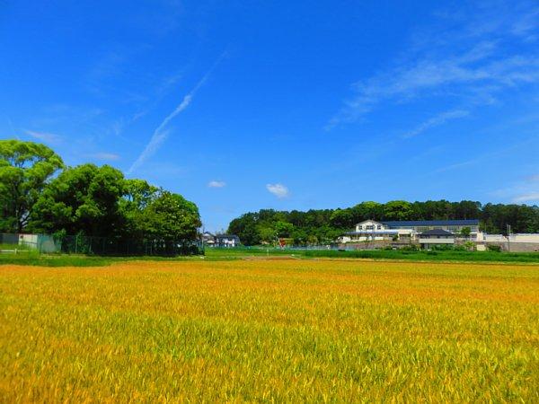 2018年5月30日 黄金色に輝く麦畑 (*^-^)ニコ  _b0341140_16155634.jpg
